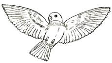 Как рисовать птиц поэтапно