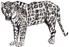 Рисунки животных - Ягуар