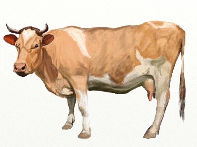 Рисунок коровы поэтапно простым карандашом