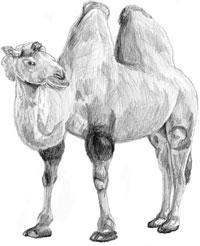 Рисунки животных - Верблюд