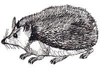 Рисунки животных - Ежик
