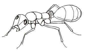 Как нарисовать муравья, шаг 5