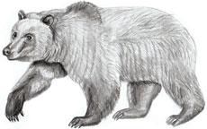 Рисунки животных - Медведь