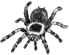 Рисунки животных - Паук