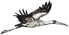 Рисунки птиц - Аист