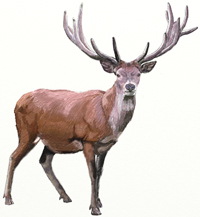 Рисунки животных - Северный Олень