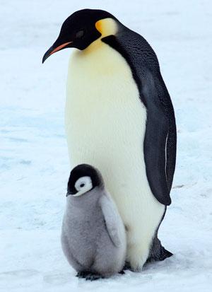 Пингвины рисунок поэтапно