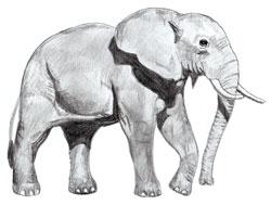Рисунки животных - Слон